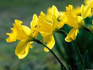 Three Perfect Daffodils Hd Wallpaper Home Of Wallpapers Free Download Hd Wallpapers Daffodils Daffodil Flower Flowers