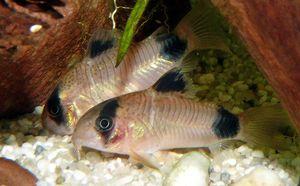Make A Panda Cory Right At Home In Your Aquarium Fish Freshwater Aquarium Cory Catfish