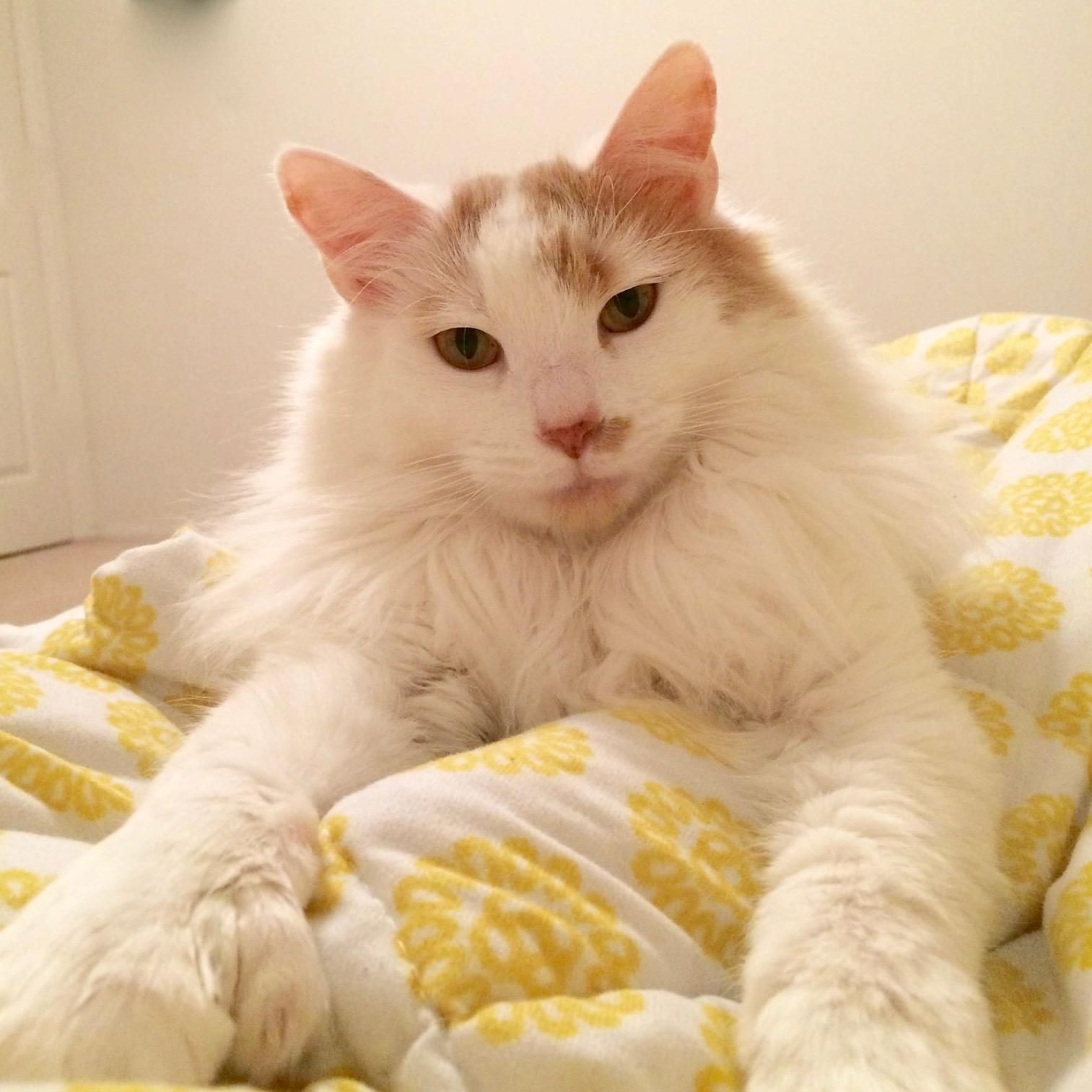 Adopt Bubbles on (With images) Norwegian forest cat, Cat