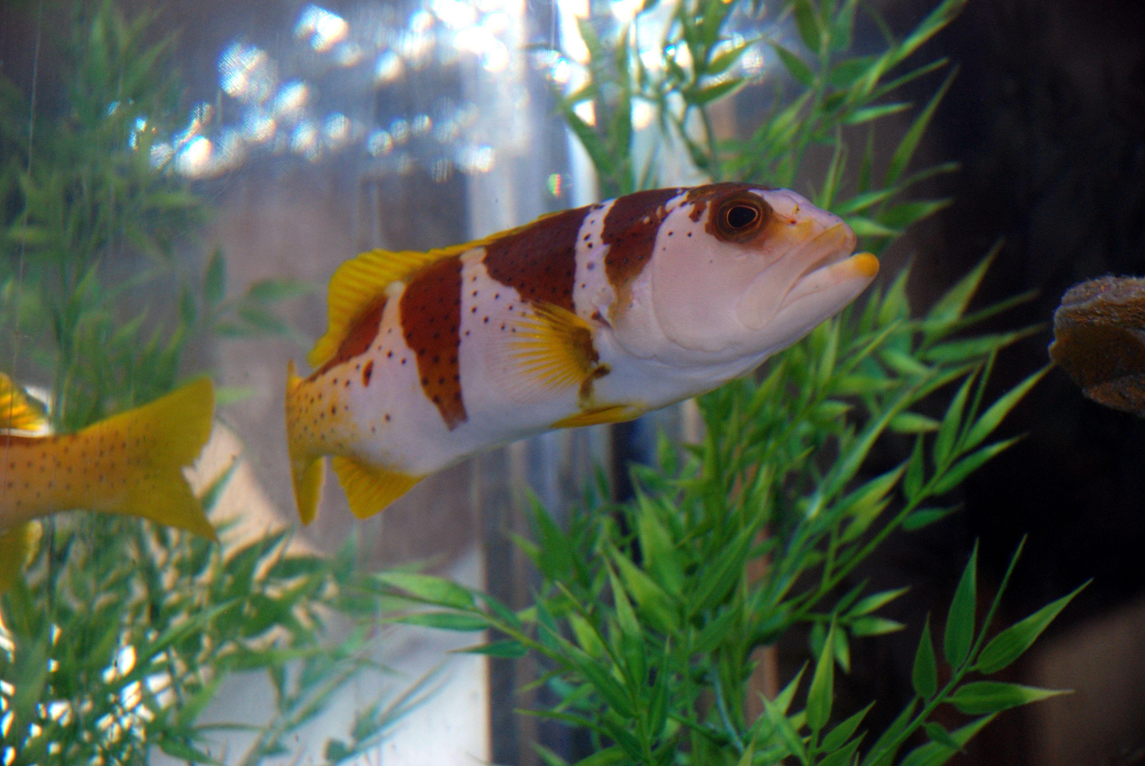 Large grouper in a fish only aquarium transforming aquariums into