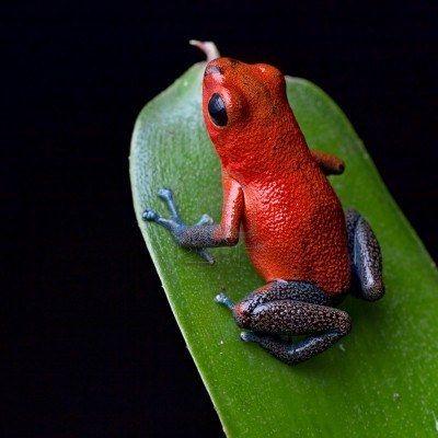 Pet frogs species - photo#53