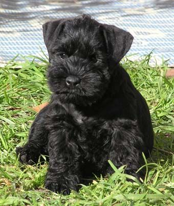 A black miniature schnauzer! Night and day! I can just