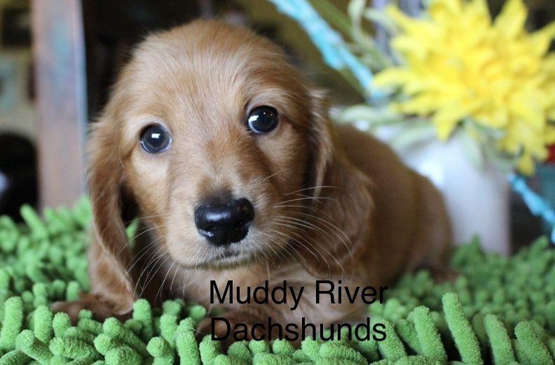Red Longhair Dixie Dachshund Puppy Miniature Dachshund Puppies For Sale Dachshund Puppies