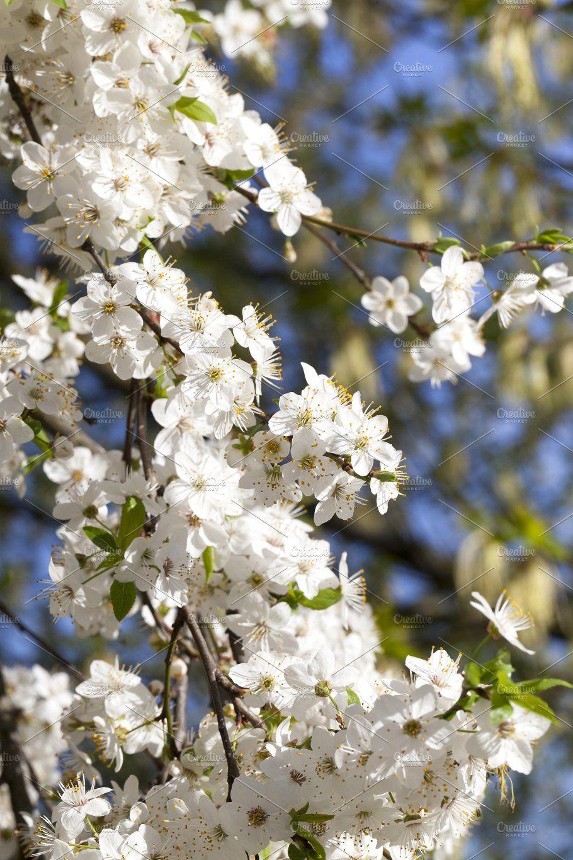 Flowering Fruit Trees Fruit Trees Blooming Trees Tree