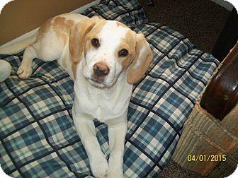 Eastpointe Mi Labrador Retriever Beagle Mix Meet Patches A Puppy For Adoption Http Www Adoptapet Com Pet 1 Labrador Retriever Puppy Adoption Beagle Mix