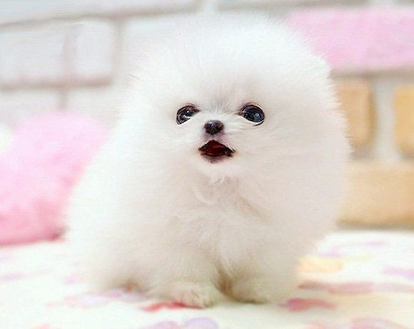 Cotton Ball Puppy This Dog Was Made For Me Pure Perfection