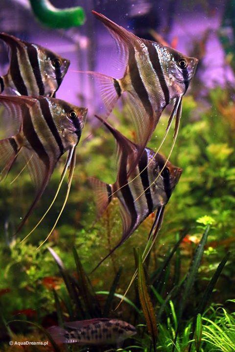 Together Tropical Fish Tanks Tropical Fish Aquarium Angel