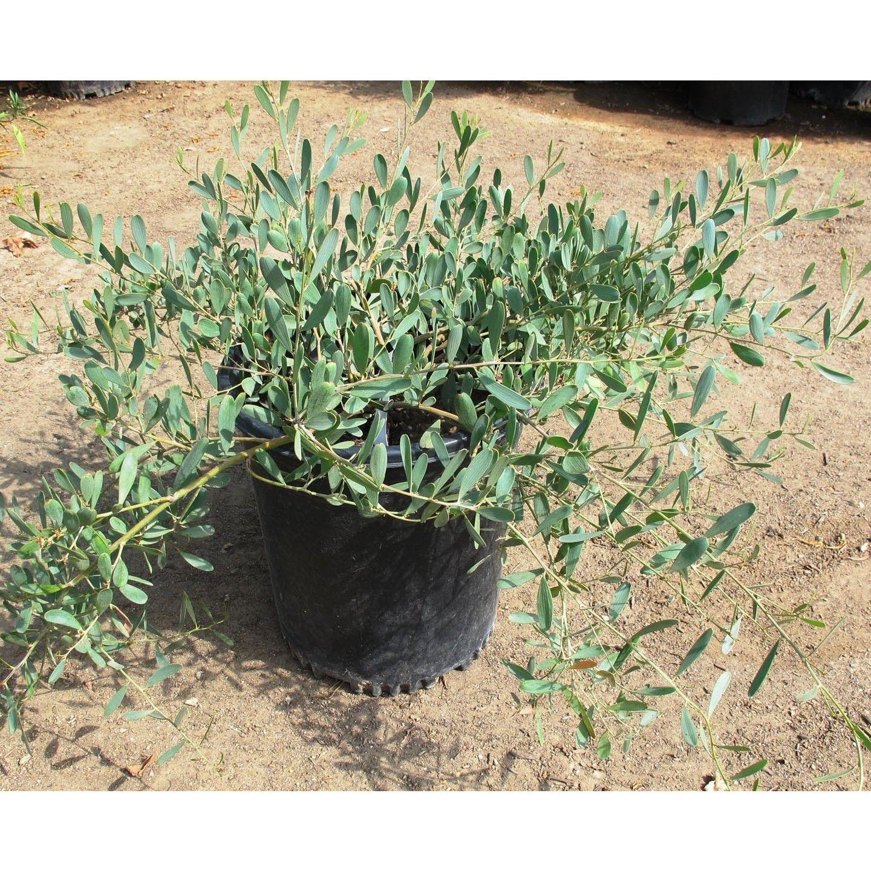 Acacia Redolens Low Boy Landscaping Planting Shrubs Low Water