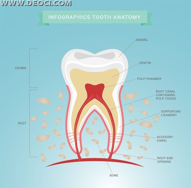 Tooth morphology and anatomy chart EPS downloads | Vector Medical ...