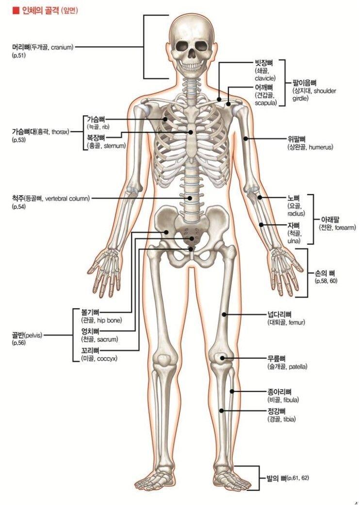 Human Bone Anatomy 691hue Bone And