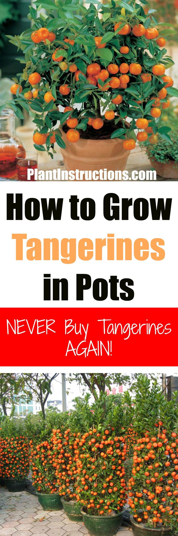 How To Grow Tangerines In Pots Fruit Tree Garden Potted Fruit Trees Fruit Garden