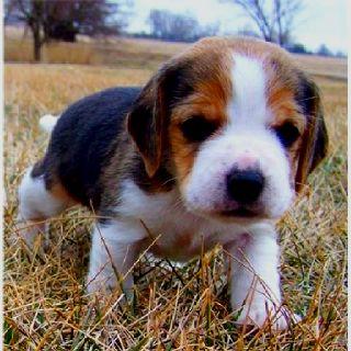Beagle Puppy Beagle Puppy Pocket Beagle Puppies Pocket Beagle