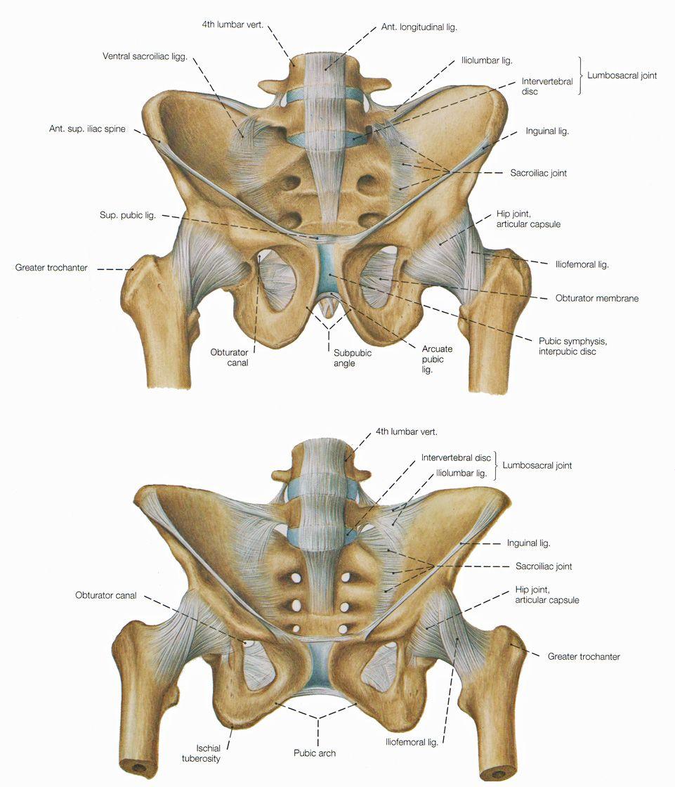 pelvis woman\'s skeleton vs man\'s - top one is mans bottom is womans ...