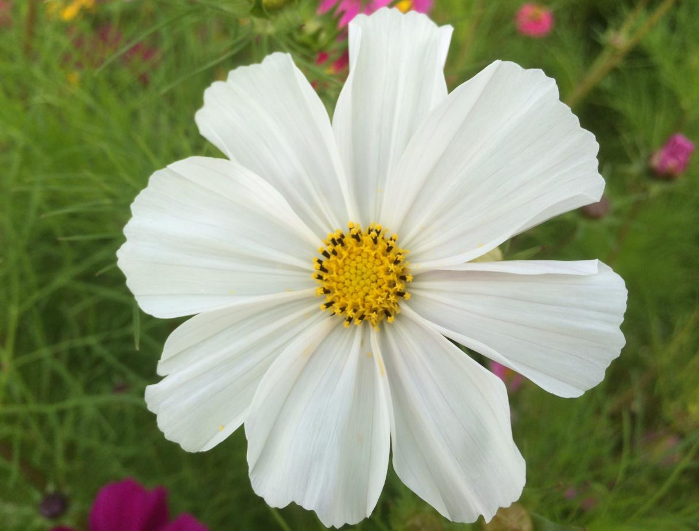 Blumenwiese im September  Schne Blume in Weiss  Gelb
