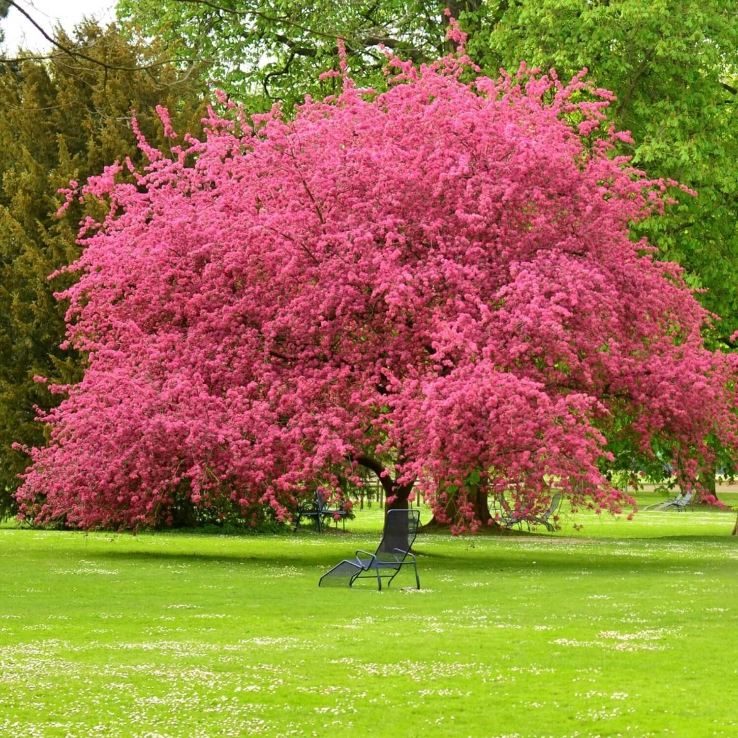 Living Memorial Tree With Biodegradable Burial Urn In 2021 Pink Dogwood Tree Dogwood Trees Pink Dogwood