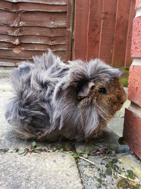 Looks a bit like my piggy, but this one has longer fur. So pretty!