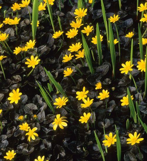 Buttercup Yellow Flowers Bloom Against Brilliant Bronze Black