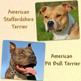 The American Bully Information Headquarters That Provide Tips