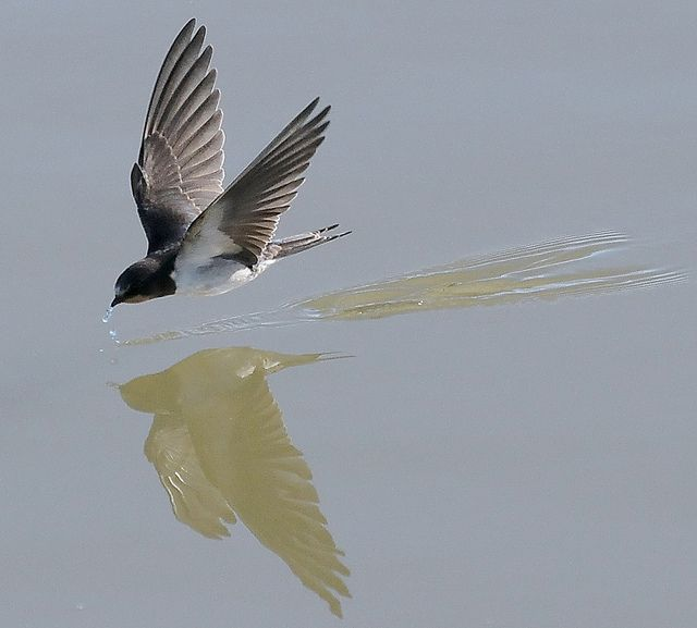 Image result for swallows skimming a lake
