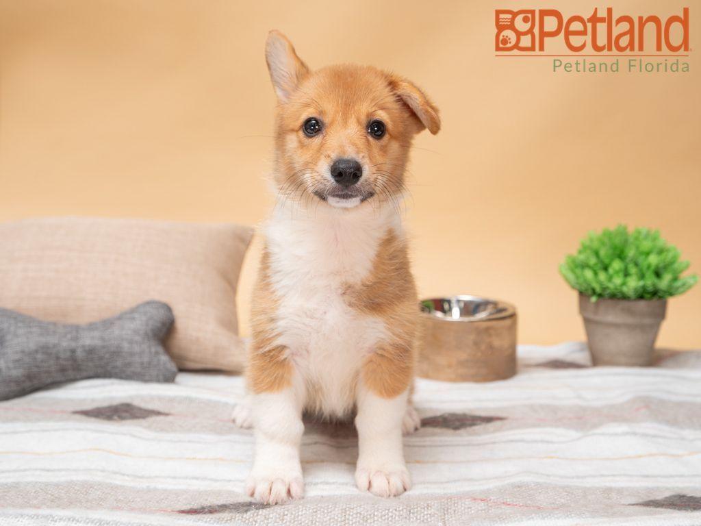 Puppies For Sale puppies for sale, Puppies,