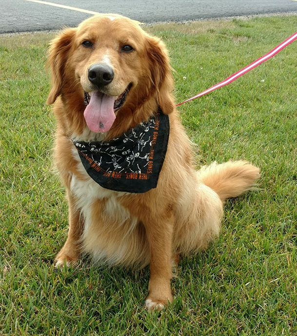 Duffy is a golden retriever mixed dog available for