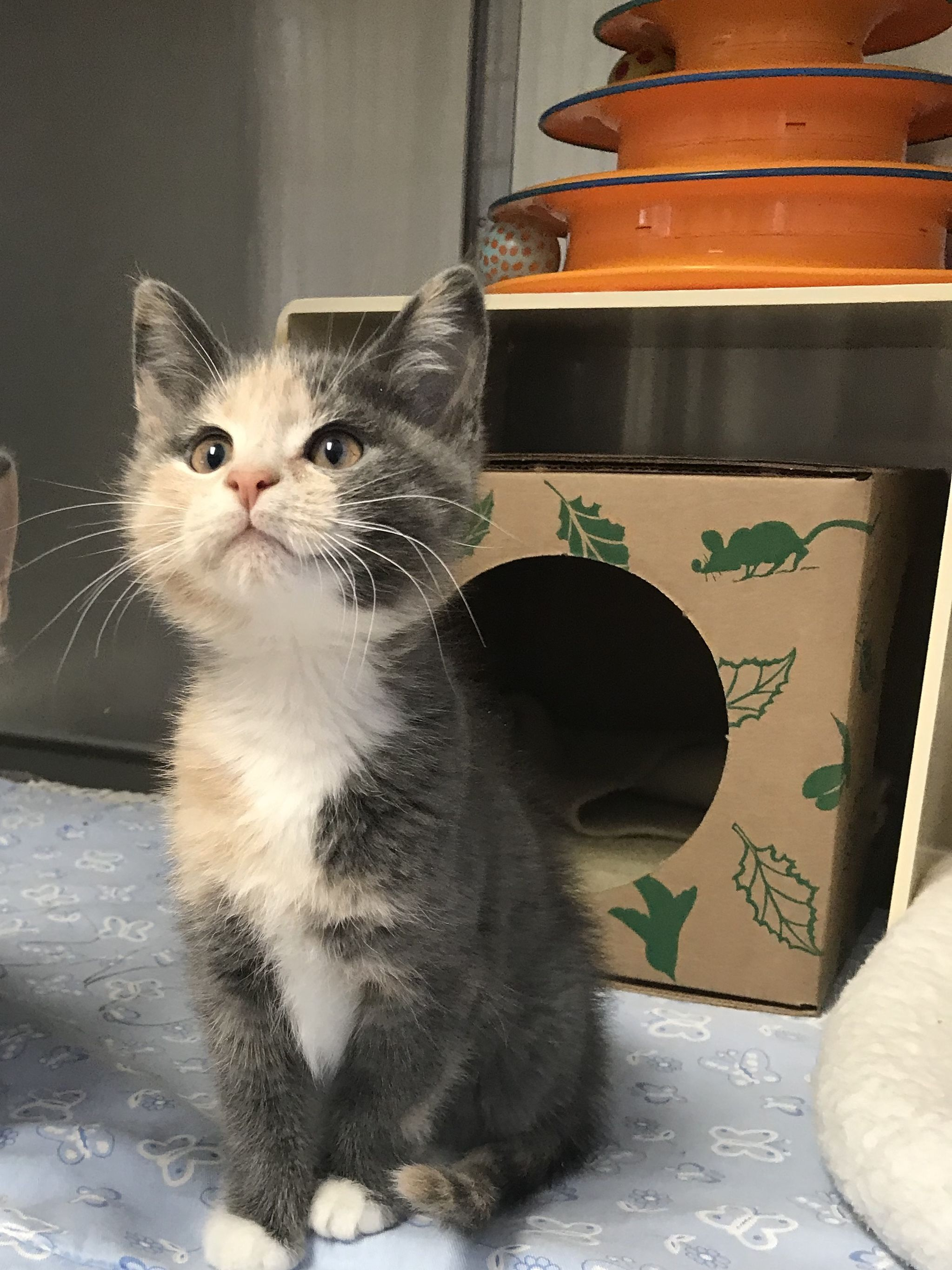 Adopt Thelma On Petfinder Cat Adoption Cats And Kittens Cute Animal Pictures