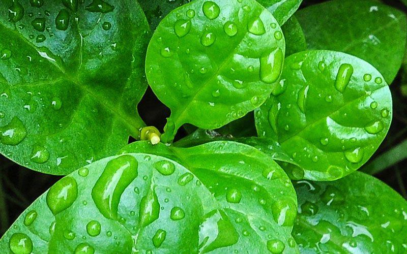 Manfaat Daun Binahong Plant Leaves Herbalism Plants