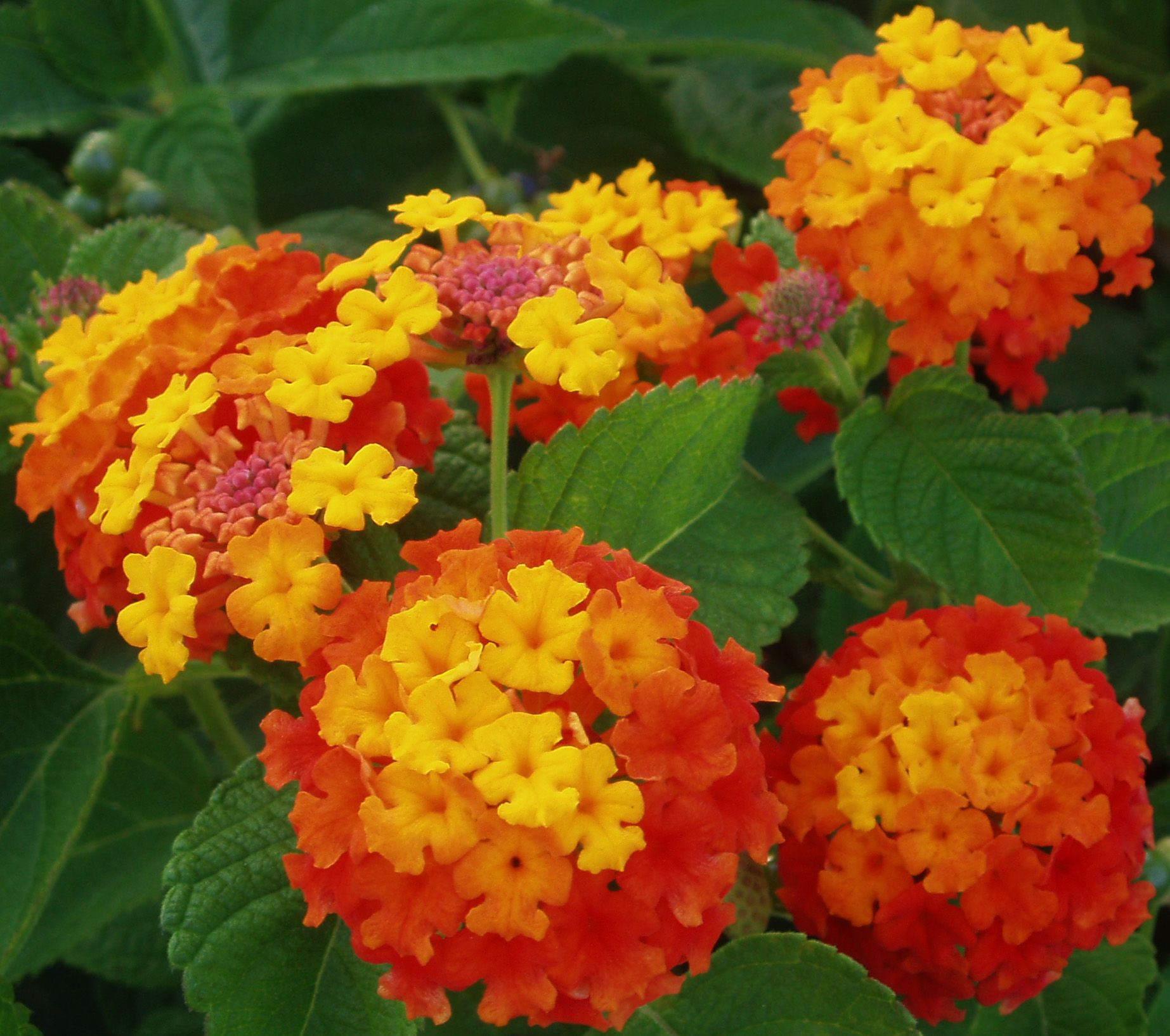 Blooming Plants In The Garden At The Family Tree Garden Center Lantana Plant Drought Tolerant Plants Lantana Camara