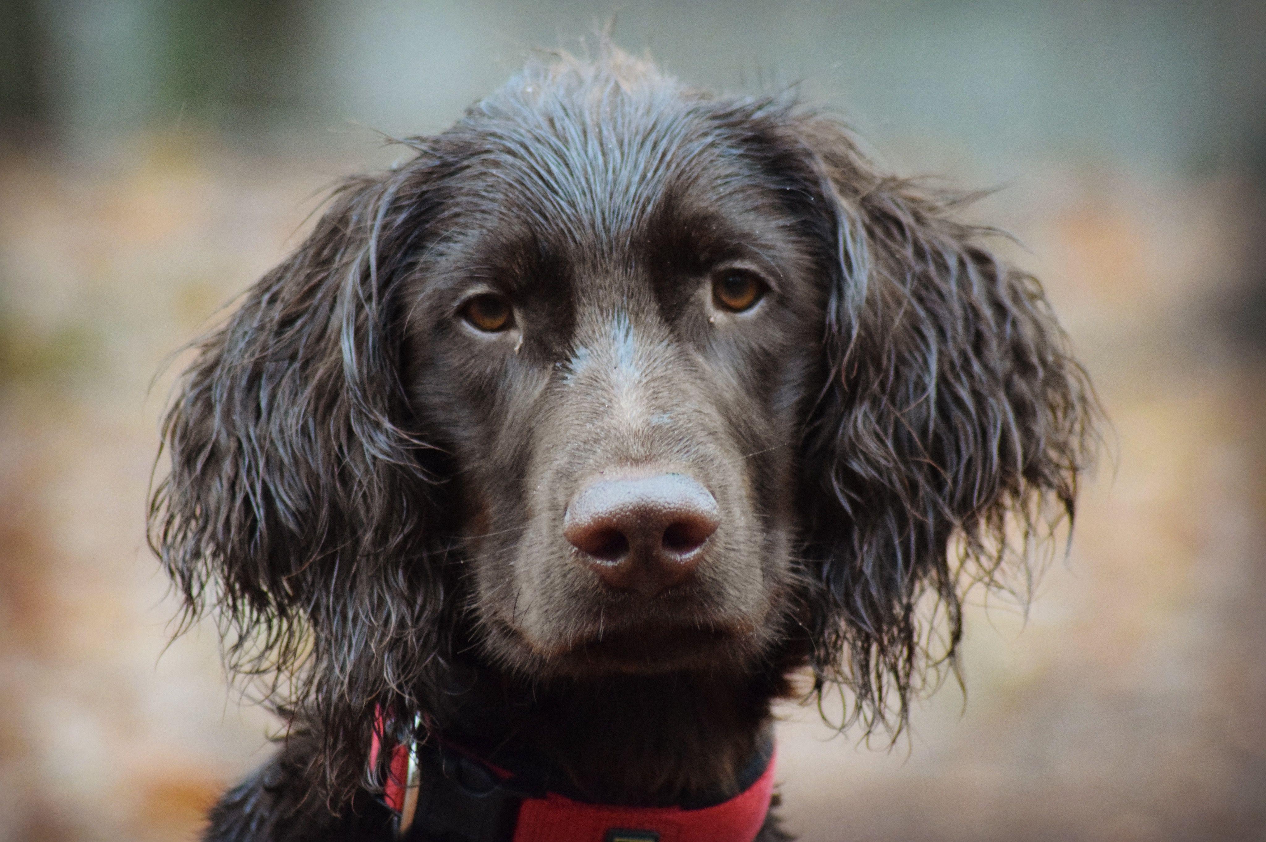 Duitse Staande Langhaar Pup Dogs Spaniel Dog Labrador Retriever