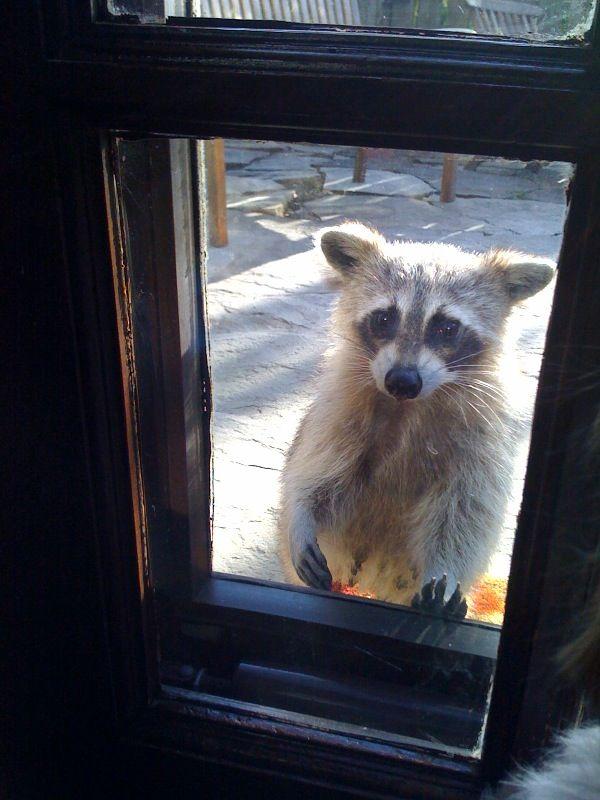 Back door racoon.