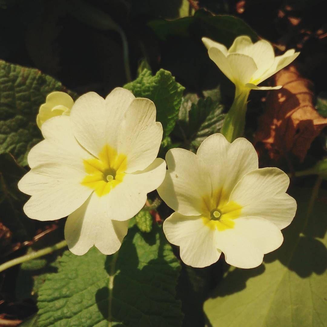 #primavera #spring #primule #fiori #flora #flowers #yellow #flowerporn #nature #natureshots #cowslip #beauty