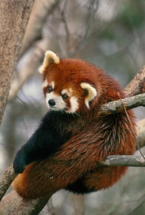 Picture of red panda