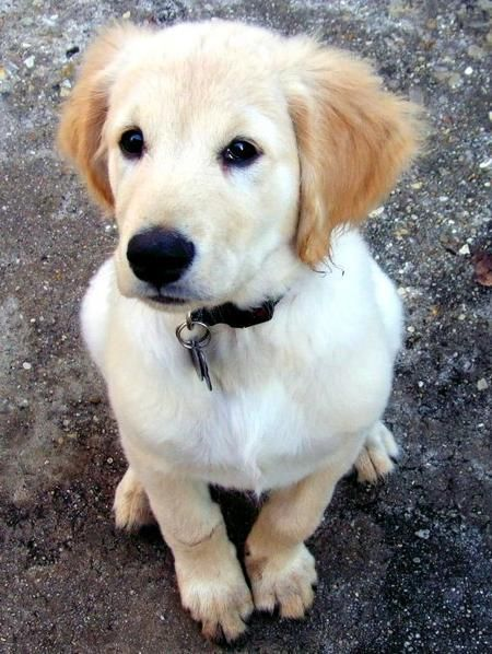 Via Daily Puppy Puppy Breed Golden Retriever This Is Butters