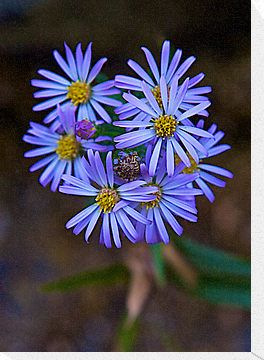 Deep Blue Leafy Aster By John Butler Aster Flower Tattoos Aster Tattoo Aster Flower