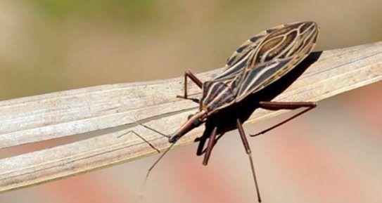 O Tripanosoma cruzi, protozoário agente etiológico da doença, foi localizado em Vicente Pires, Parkway, Paranoá, Águas Claras, no Jardim Zoológico de Brasília e em diversos pontos do Plano Piloto e de outras regiões administrativas do Distrito Federal