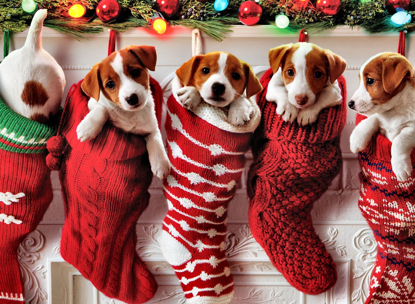 Jack Russell Puppies in Knitted Christmas Stockings