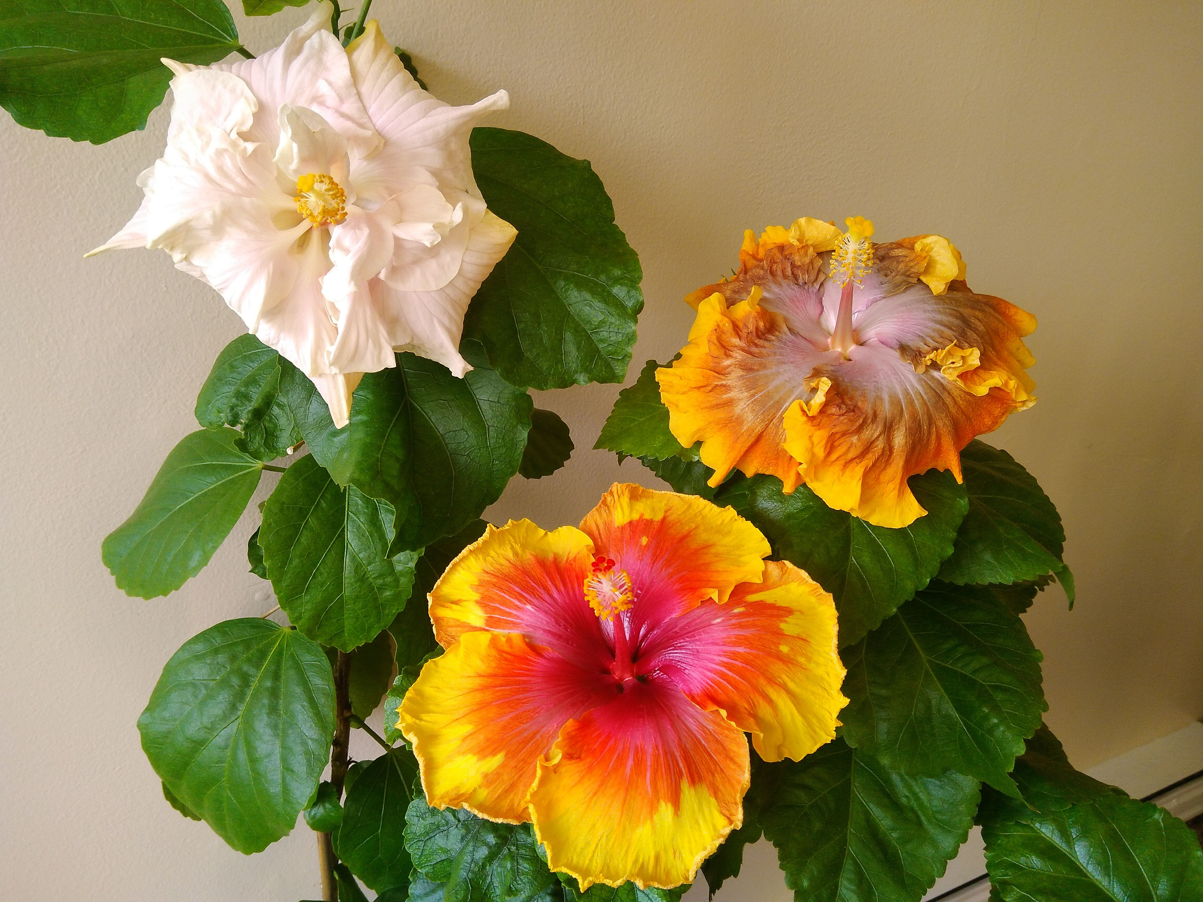 Three simultaneous hibiscus blooms today on my fairy queen double three simultaneous hibiscus blooms today on my fairy queen double maui artist and carmel dawn izmirmasajfo Image collections