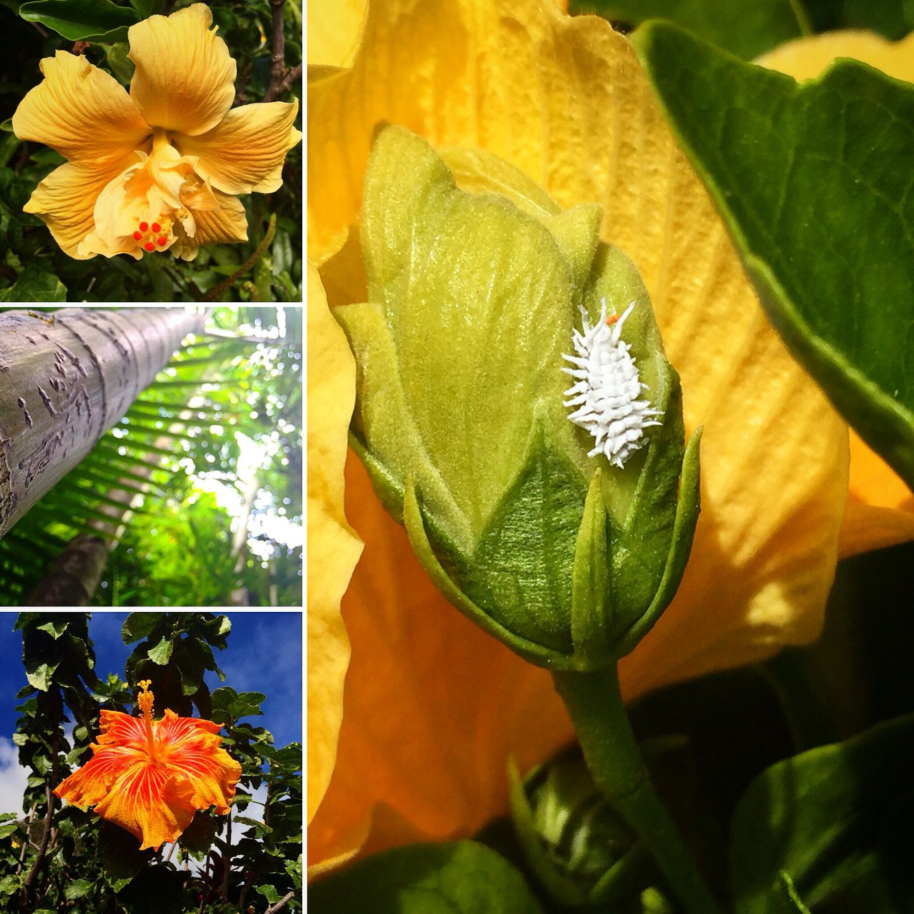 Makawao Hibiscus Bamboo And A Little White Bug I Ve Never Seen Before Plant Leaves Plants Hibiscus