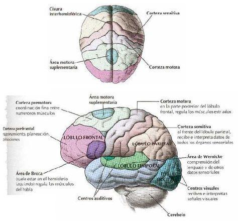Partes del cerebro en español