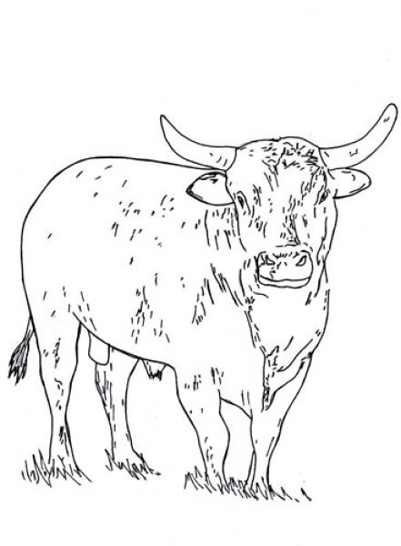 The best bucking bull coloring pages http coloring for Bucking bull coloring pages