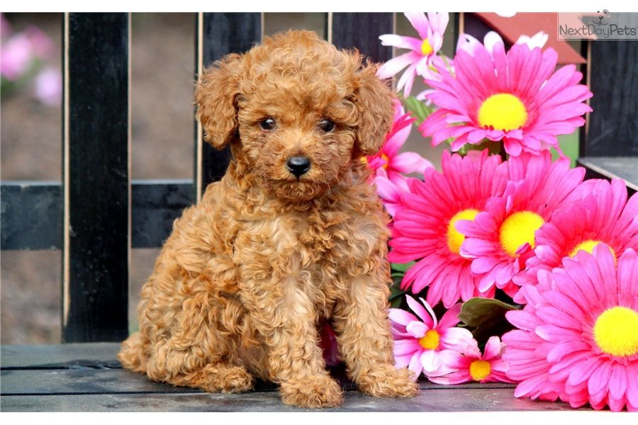 Poodle Toy Puppy For Sale Near Lancaster Pennsylvania F99df37d