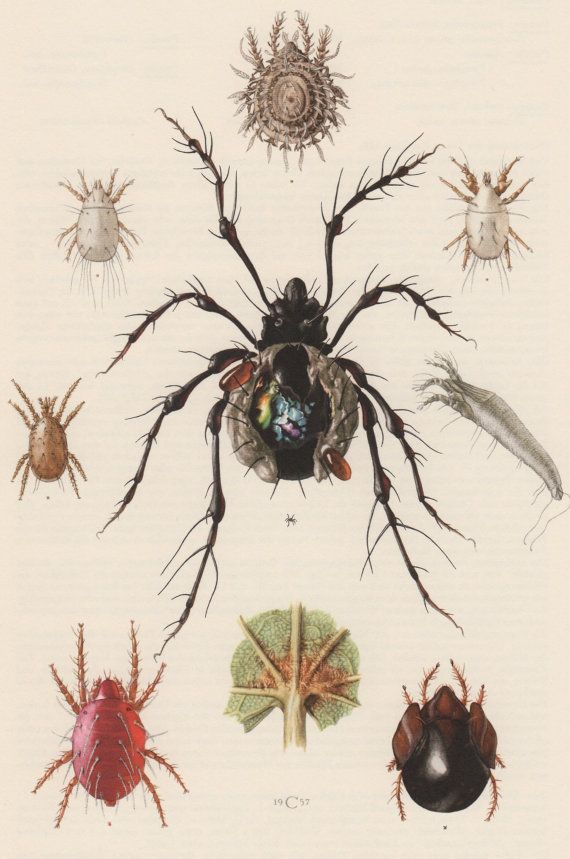1957 Spider Mite Antique Print Entomology Insects By Craftissimo