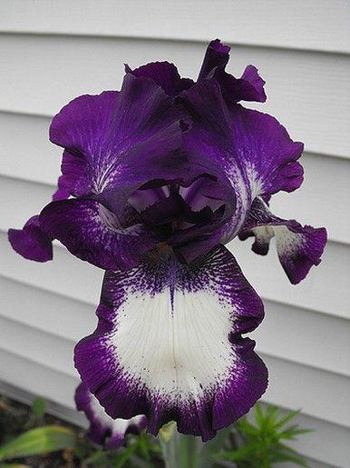 Purple And White Iris Iris Flower Pictures Purple Flowers Garden Iris Flowers