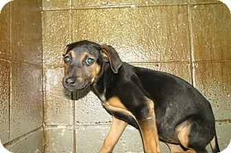 Henderson Nc German Shepherd Dog Mix Meet Victoria A Puppy For Adoption German Shepherd Dogs Shepherd Dog Dogs