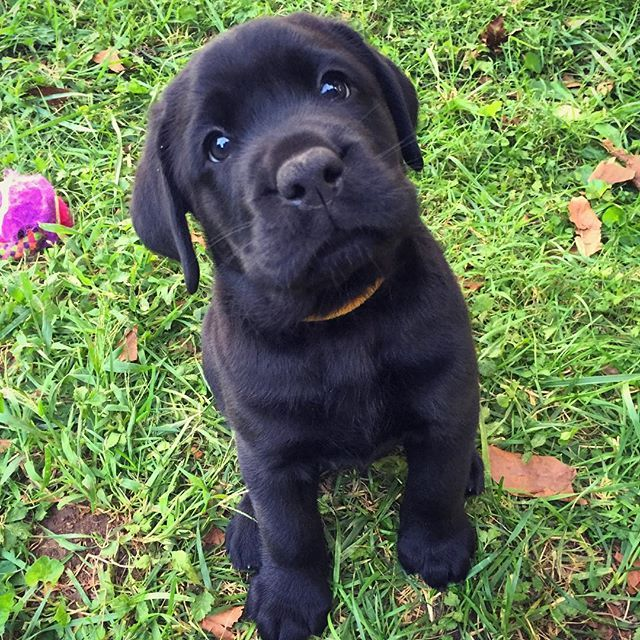 22 Photos Of Labrador Retriever Puppies To Brighten Your Day Lab Puppies Black Lab Puppies Labrador Retriever Puppies