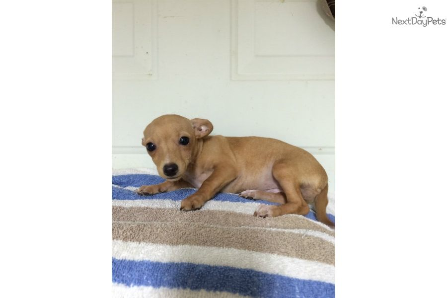 Chihuahua Puppy For Sale Near Fayetteville Arkansas 5d211466