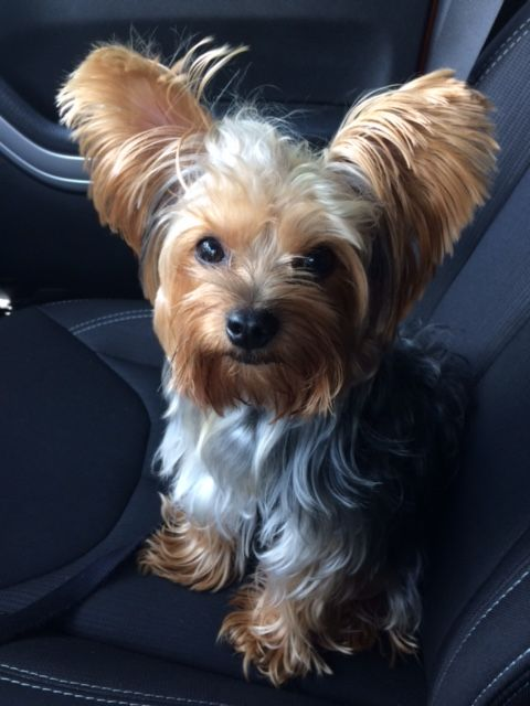 Zorro goes for a ride with me! | Yorkies | Best dogs, Dogs