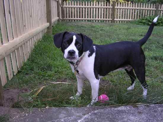Boglen Terrier Boston Terrier Beagle Mix Info Puppies Pictures