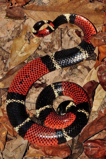 Aquatic Coral Snake Micrurus Surinamensis Micrurus Surinamensis