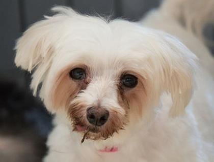 Adopt Flower A Lovely 7 Years 1 Month Dog Available For Adoption At Petango Com Flower Is A Maltese And Is Available A Dog Adoption Small Dog Adoption Pets